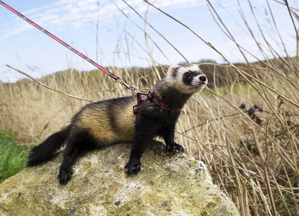 Ferret Harness